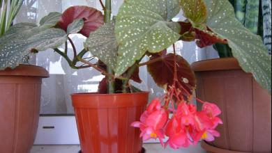 Begonya Bitkisi Evde Nasıl Yetiştirilir? Bakımı Nasıl Yapılır?